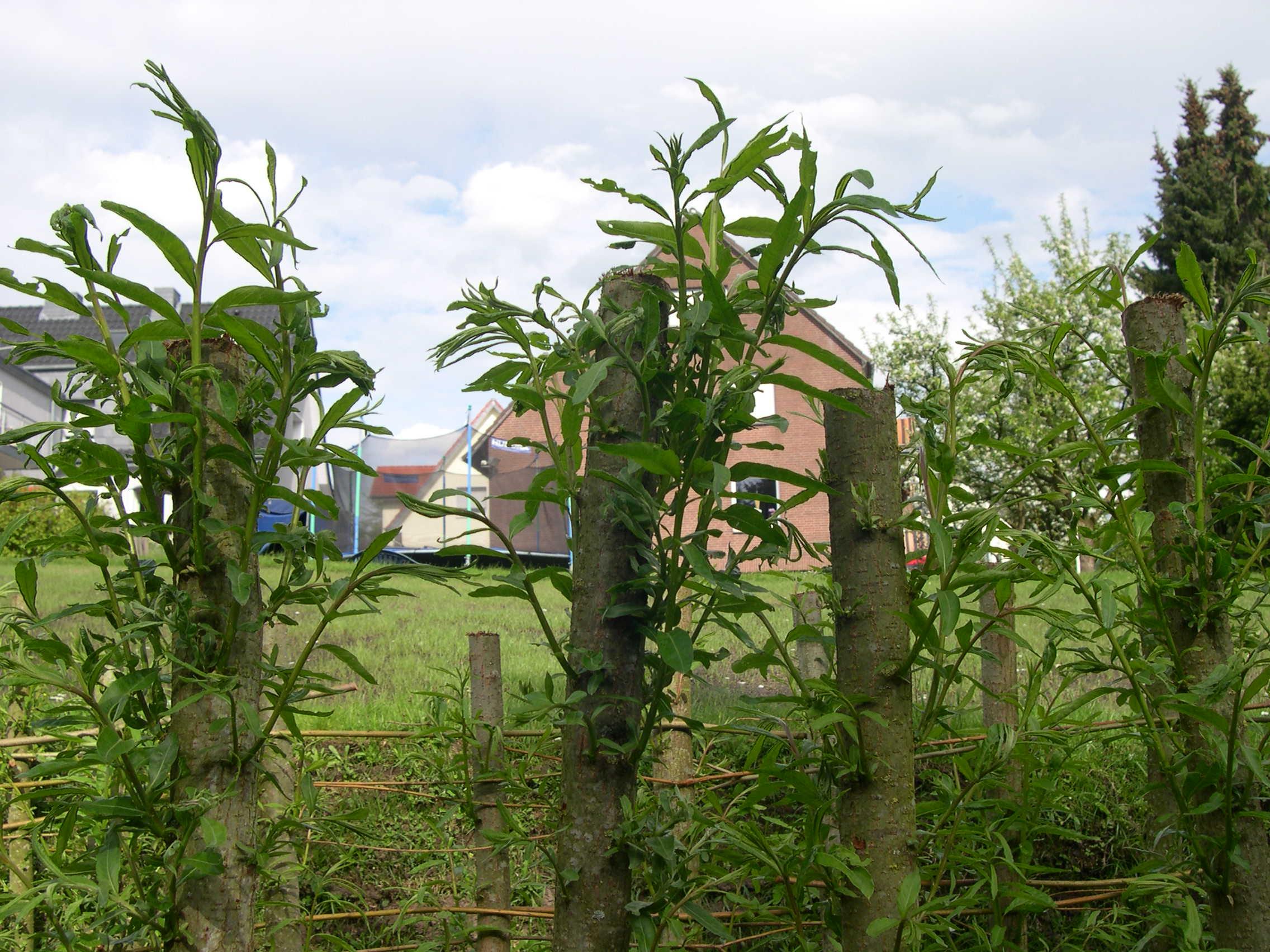 Weidenpflöcke Weidensepp