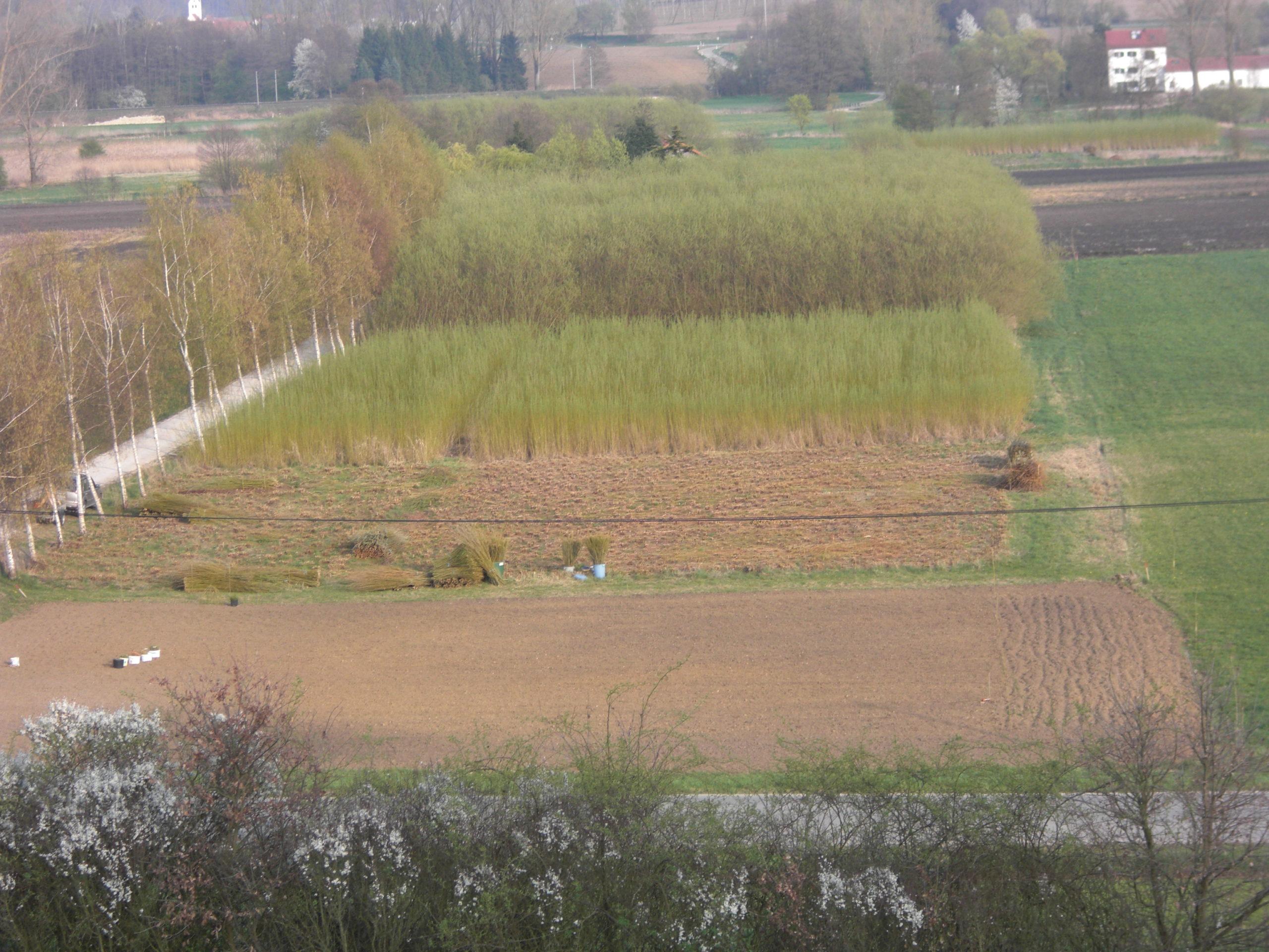 Weidenplantage Weidensepp
